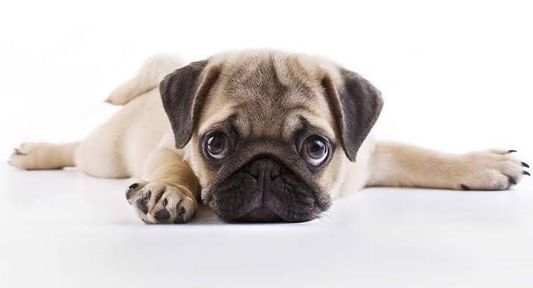 pug-puppy
